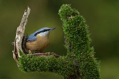 Nuthatch...Doesn't it look like a hand's holding a bird?