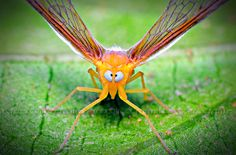 The Best Silly Face on the Planet: Cross-eyed Planthopper | The Featured Creature