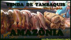 Amazônia - Peixe Nativo - Venda de Tambaqui - Colossoma macropomum    Ce...