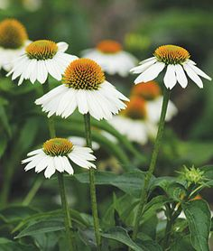 PowWow White Echinacea Seeds and Plants, Perennial Flower Garden at Burpee.com
