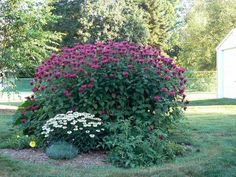 Bee balm - edible flower (grows 2-4 ft tall, can get dwarf varieties)