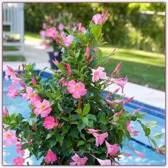 Sundaville   Mandevilla Çiçeğinin Bakımı, Yetiştirilmesi, Çoğaltılması - Sayfa 11 - Forum Gerçek