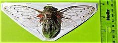 "Lot of 10 Gigantic Cicada Pomponia intermedia Spread 6"" + FAST FROM USA"
