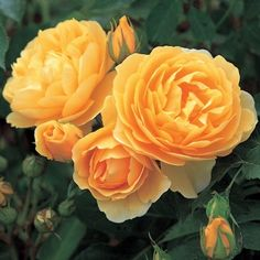 Graham Thomas English Rose  Rich, pure yellow blooms. Medium-strong, fresh tea rose fragrance