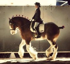 Clydesdale doing dressage