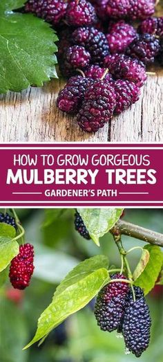 Mulberry trees have a short harvest season but produce ample fruits for all of your favorite pies, jellies, and wines. See what it takes to propagate this fast-growing tree and why it makes a beautiful addition to any yard or garden. Learn the basics for Mulberry Bush, Mulberry Tree, Mulberry Plant, Mulberry Fruit, Fruit Tree Garden, Garden Trees, Fast Growing Trees, Growing Grapes, Growing Blackberries