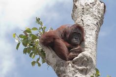 Pregnant orang-utan pictured clinging to final tree as bulldozers destroy rainforest around her. She is too weak and frightened to leave the trunk where she had sought sanctuary as machines tear down her jungle home in Borneo. Primates, Mammals, Reptiles, Save The Orangutans, Oil Industry, Palm Oil, Animal Rights, Habitats, Animal Rescue
