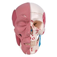 Skull with Facial Muscles - 3B Scientific - Anatomical Models - Anatomy Teaching Models - Cranial Models - Head Models