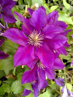 Clematis .. Picardy. 3' - 4'. 6 month bloom.