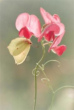 I luv sweet peas :)