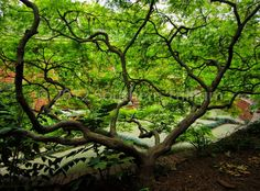 Exquisite view of a Japanese Maple.
