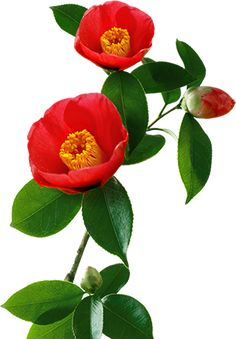 TSUBAKI is particular about salmon oil Exotic Flowers, Pretty Flowers, Botanical Art, Botanical Illustration, Pink Garden, Nature Plants, Floral Illustrations, Flower Pictures, Flower Wallpaper
