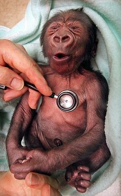 Yakini, the gorilla from Melbourne Zoo, reacting to a cold stethoscope while at the vet.