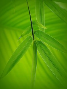 Bamboo and Banana Foliage by Nate A on 500px