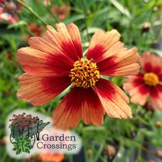 I love the bright Orange color of Coreopsis 'Desert Coral'. A great splash of sunshine for your garden