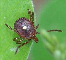 Natural tick deterrent. .. Create a citrus based repellant.Ticks avoid citrus, which makes it an effective weapon. To make: Boil 2 cups of water, and add two chopped lemons, limes, oranges, or grapefruit—–alone or in combination. Let it boil for a minute or so, then simmer the concoction for an hour. Strain the fruit out, let it cool, pour into the sprayer, and squirt it on you, your kids, your pets, your yard—–anywhere ticks might like to go.Other natural repellents use geranium, lavender…