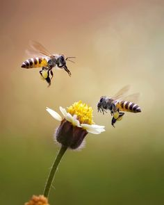Closeup Of Honey Bees Buzzing On Flower Photography , Bee Pictures, Buzz Bee, I Love Bees, Bees And Wasps, Bee Friendly, All Nature, Bugs And Insects, Bee Happy, Save The Bees