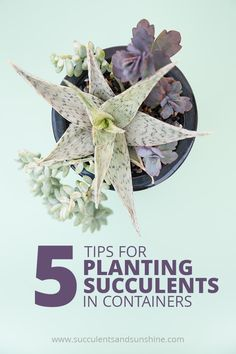 These are great tips about common mistakes people make when planting succulents in containers. There are some things on this list you might not know that will impact the health of your succulents! These are great tips about common mistakes people make whe How To Water Succulents, Succulent Soil, Succulent Landscaping, Types Of Succulents, Propagating Succulents, Growing Succulents, Succulents In Containers, Water Plants, Planting Succulents