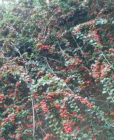 Berries.