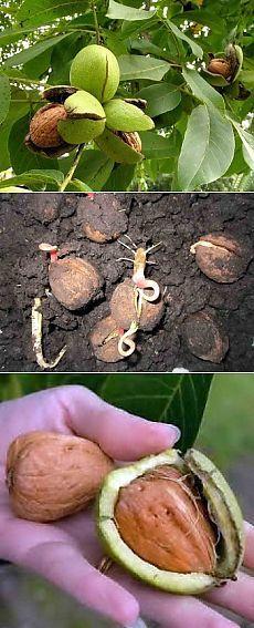 Dwie metody sadzenia orzech |  Domek - na przyszłość
