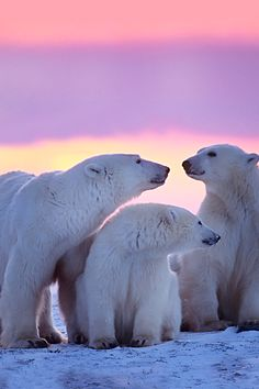 Polar Bear Family wildlife nature animals pictures photography birds sealife