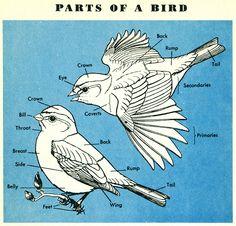 theshinyboogie:    Birds, a Golden Nature Guide (1956)