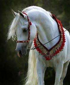 Beautiful White Arabian Horse in Costume