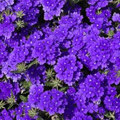 Lanai® Blue - Verbena-annual-heat tolerant, attracts butterflies
