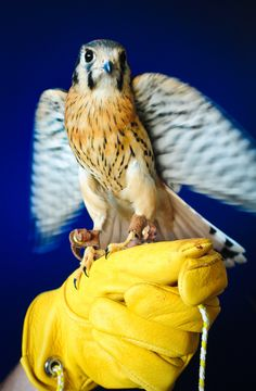 Kestrels are not to be underestimated for neither power nor eagerness to fly. Beautiful