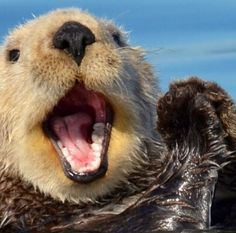 Good otter w big smile Animals And Pets, Baby Animals, Funny Animals, Cute Animals, Animals Sea, Scottish Fold, Animals Tumblr, Baby Sea Otters, Otters Cute