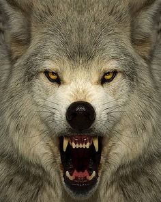wolf fang imagine been face to face all alone in the woods with a wolf this angry remember never take your eyes from his