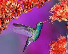 Картинки по запросу все виды колибри