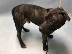 JAMESON - #A1087203 - Urgent Brooklyn - **DOH HOLD 08/25/16** - male br brindle/white am pit bull term mix, 2 Yrs - STRAY - HOLD FOR DOH-B Reason STRAY - INJ MINOR - Due out 08/28/16 - FOUND FIGHTING WITH ANOTHER DOG, NERVOUS BUT ALLOWED ALL HANDLING, BLEEDING WOUNDS, START ANTIBIOTICS