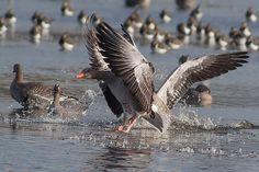 Een grauwe gans in landing op de foto gezet door jvbeilen.