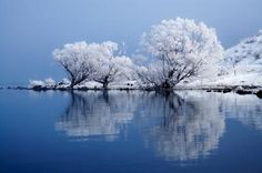 Willow Trees in Hoar Frost, Reflected in Lake Ohau, Mackenzie Country, South Island, New Zealand