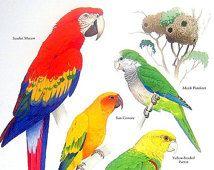 Parrots - Scarlet Macaw, Monk Parakeet, Sun Connure, Spectacled Parrotlet - 1984 Vintage Birds Book Page