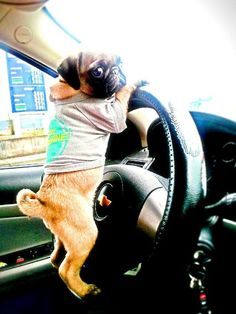 Baby pug says: If you won't take me to McDonalds, I'll go myself!