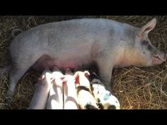 Sow and Her 5 Piglets Get New Home After Being Saved From Backyard Butcher - Inside Edition