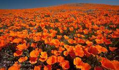 Antelope Valley California Poppy Reserve - Lancaster - Reviews of Antelope Valley California Poppy Reserve - TripAdvisor