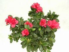 Rhododendron simsii (Azalea indica)