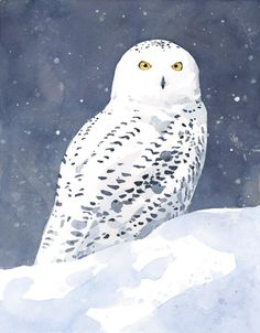 Snowy Owl art print - david scheirer watercolors