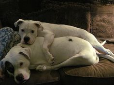 American Bulldogs. I want to hug both of them!