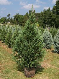 This year we are going to get a potted living Christmas tree so we can plant it in the yard!
