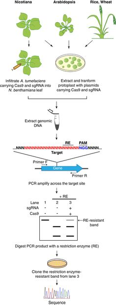 Genome editing in plants