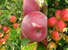 Cum se face altoirea cu ramură detașată, sub scoarța terminală Ale, Paradis, Healthy Fruits, Salvia, Fruit Trees, Grape Vines, Harvest, Organic, Landscape