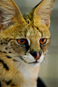 ☀Gorgeuase eyes ~ 01036 Serval  by ~Yellowstoned