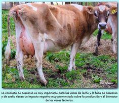 La conducta de descanso es muy importante para las vacas de leche y la falta de descanso y de sueño tienen un impacto negativo muy pronunciado sobre la producción y el bienestar de las vacas lecheras. Las instalaciones tienen un efecto sustancial en la conducta de descanso, la salud y el rendimiento de las vacas