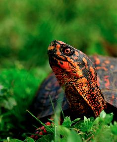 Eastern Box Turtle. Saw one of these little guys in the yard last week.