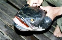 Fish to avoid: Snakehead Fish (up to 3 feet): Thought to have attacked humans who have gone too close to its young. Widely distributed across South East Asia, parts of India and Africa, the giant tropical specimen boasts a fat mouth and sharp pointed teeth, and will eat just about everything in or on a body of water, be it fish, bird, amphibian or mammal.