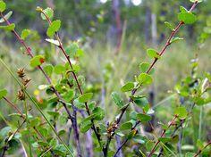 Vaivaiskoivu, Betula nana - Puut ja pensaat - LuontoPortti